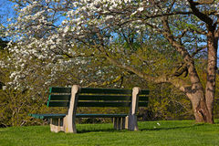 Een bank en een tot bloei komende kornoeljeboom op zonnige middag stock foto's