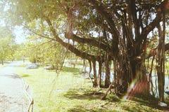Een banyan boom in een openbaar park Stock Fotografie