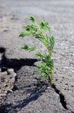 Een barst in het asfalt Grasalsem het groeien in een barst op de weg royalty-vrije stock afbeelding