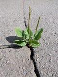 Een barst in het asfalt Plantago belangrijke Plantago, Weegbree royalty-vrije stock foto's