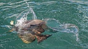 Een batfish neemt voor voedsel toe Stock Afbeelding