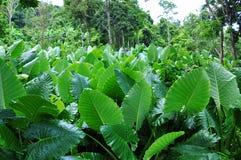 Een bebost gebied die uit grote bladeren bestaan Phuket, Thailand stock afbeeldingen