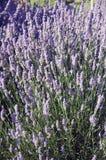Een Bed van Lavendel Stock Foto