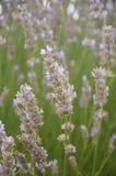 Een Bed van Lavendel Royalty-vrije Stock Foto's