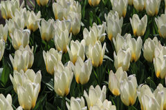 Een bed van witte tulpen Stock Foto's