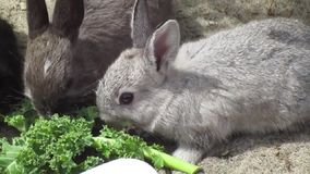 Een bedrijf die van jonge konijntjeskonijnen van boerenkool genieten stock videobeelden