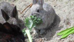 Een bedrijf die van jonge konijntjeskonijnen van boerenkool genieten stock footage