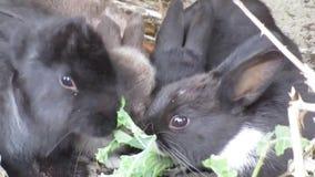 Een bedrijf die van jonge konijntjeskonijnen van boerenkool genieten stock video