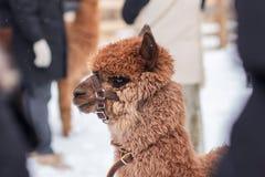 Een beeld van een bruine alpaca royalty-vrije stock foto