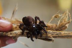Een beeld van een Tarantula Stock Foto