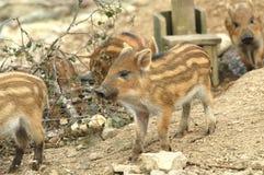 Een beeld van everzwijnbiggetjes in Schotland het UK Stock Afbeelding