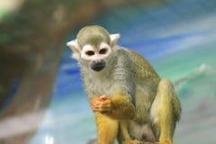 Een beeld van een nieuwsgierige kleine aap stock afbeelding