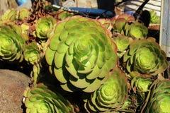 Een beeld van succulent Royalty-vrije Stock Fotografie