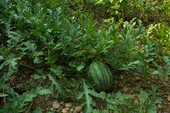 Een Beeld van Watermeloen, Watermeloenen op het groene meloengebied in t Stock Foto's