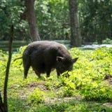 Een beer die naar voedsel in Spreewald zoeken Stock Foto's