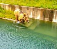 Een Beer die in water in Bern Bear Pit Barengraben in Bern Bear Park, Berne, Zwitserland, Europa voorbereidingen treffen te sprin Royalty-vrije Stock Foto