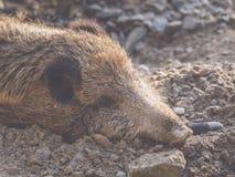 Een beer ligt in het vuil en de slaap stock foto's