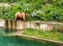 Een Beer loopt langs rand van pool in Bern Bear Pit Barengraben in Bern Bear Park, Berne, Zwitserland, Europa stock afbeeldingen
