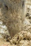 Een beer zoekt voedsel in de natte modder stock foto's