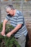 Een bejaarde die een struik snoeit. Royalty-vrije Stock Afbeelding