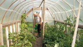 Een bejaarde geeft installaties in een serre water De hoge tomaten en de peper zullen spoedig rijpen Het concept gezond stock footage