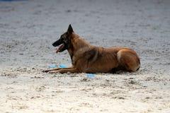 Een Belgische herder bij de mondioring wedstrijd stock afbeeldingen