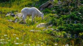 Een berggeit in groene alpiene weide met gras en bloemen stock fotografie
