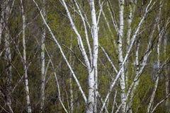 Een berk is in de lente met groene bladeren Royalty-vrije Stock Afbeeldingen