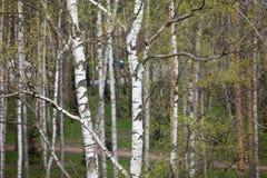 Een berk is in de lente met groene bladeren Stock Foto's