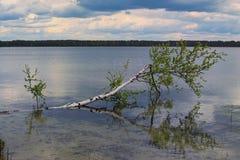Een berk door een orkaan wordt gebroken ligt in een meer dat Pisochneozero Volyngebied ukraine Stock Foto's