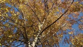 Een berk in goed de herfstweer stock video