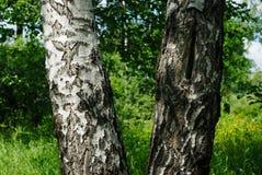 Een berkboom in de zomer royalty-vrije stock afbeelding