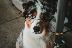 Een Bernese-berghond op een leiband die de camera bekijken royalty-vrije stock afbeeldingen