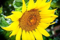 Een beste vriend van bijen stock afbeelding