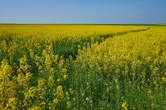 Een betekenis op een gebied van geel raapzaad in de lente stock foto's