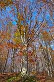 Een beukbos in de herfst Stock Foto's