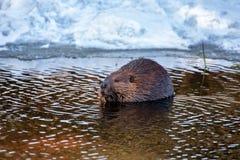 Een Bever die op een stok in water snacking stock fotografie