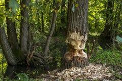 Een bever verliet de baan gedaan half!!! De boom wordt slechts half rond gesneden stock afbeelding