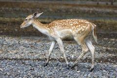 Een bevlekt hert, of chital, Stock Foto's