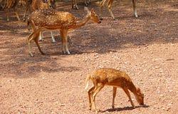 Een Bevlekt Hert - Jong geitje en Ouder stock foto