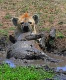 Een bevlekte Hyena die een modderbad hebben Stock Afbeeldingen