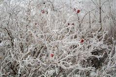 Een bevroren briar struik Stock Foto