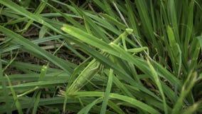 Een bidsprinkhaan in het gras stock foto