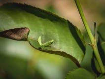 Een Bidsprinkhaan van het lilliekind zit op een blad van toenam Macro van kleine jager of Bidsprinkhanen Religiosa stock foto's