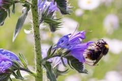 Een bij bestuift een purpere bloem, op een zonnige dag, een zeer kleine diepte van gebied Grote details! royalty-vrije stock foto