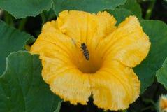 Een bij die een bloempompoen in de tuin bestuiven Stock Foto's