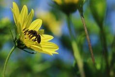 Een bij die een gele bloem met ruimte bestuiven om tekst te plaatsen stock afbeelding