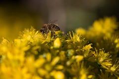 Een bij die stuifmeel van gele bloemen verzamelen stock afbeeldingen