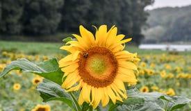 Een bij op een bloeiende zonnebloem, Jaspis, Georgië, de V.S. stock foto