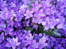 Een Bij op de Levendige Purpere Bloemen Stock Afbeelding